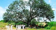 300-year-old mango tree wins heritage title